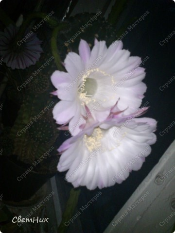 И снова расцвел мой кактус -красавец!  Этот кактус растет у моей мамы, ему уже около 30 лет, цветет каждый год, а в этом году он уже трижды цвел.  фото 1