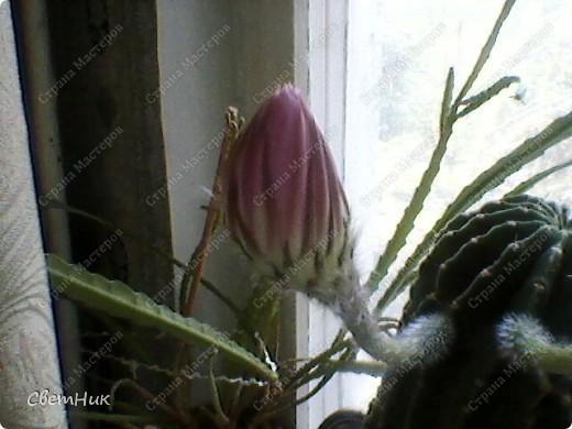 И снова расцвел мой кактус -красавец!  Этот кактус растет у моей мамы, ему уже около 30 лет, цветет каждый год, а в этом году он уже трижды цвел.  фото 2