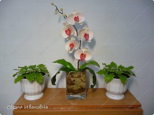 Орхидея фаленопсис ХФ фото 1