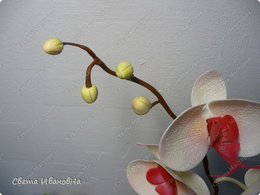 Орхидея фаленопсис ХФ фото 2