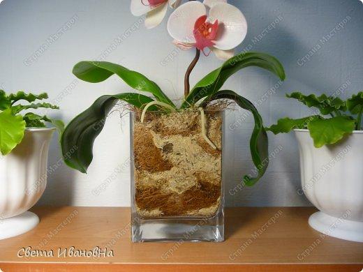 Орхидея фаленопсис ХФ фото 4