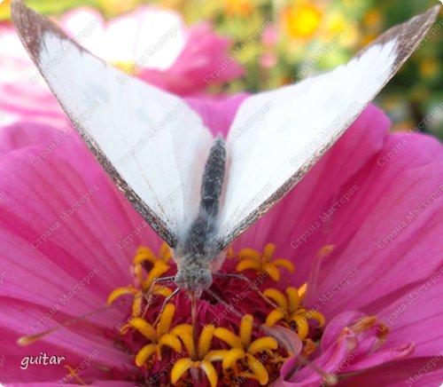 Красивая бабочка Павлиний глаз наконец-то посетила мой цветник, да не одна, а со своими подружками, кружили над цветами несколько дней. Причём садились либо на бархатки, либо на петунью. фото 8
