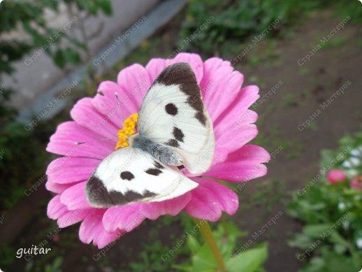 Красивая бабочка Павлиний глаз наконец-то посетила мой цветник, да не одна, а со своими подружками, кружили над цветами несколько дней. Причём садились либо на бархатки, либо на петунью. фото 10