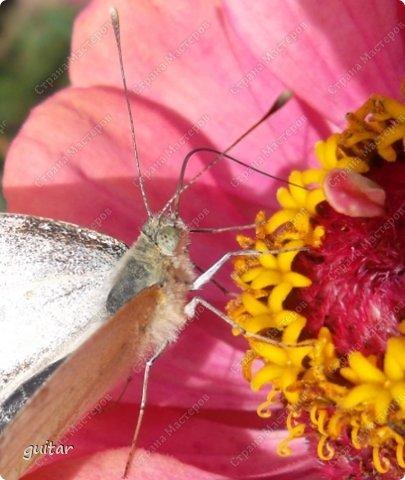Красивая бабочка Павлиний глаз наконец-то посетила мой цветник, да не одна, а со своими подружками, кружили над цветами несколько дней. Причём садились либо на бархатки, либо на петунью. фото 9