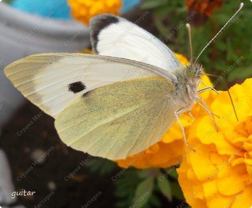 Красивая бабочка Павлиний глаз наконец-то посетила мой цветник, да не одна, а со своими подружками, кружили над цветами несколько дней. Причём садились либо на бархатки, либо на петунью. фото 11