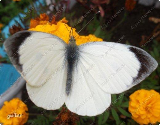 Красивая бабочка Павлиний глаз наконец-то посетила мой цветник, да не одна, а со своими подружками, кружили над цветами несколько дней. Причём садились либо на бархатки, либо на петунью. фото 12