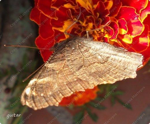 Красивая бабочка Павлиний глаз наконец-то посетила мой цветник, да не одна, а со своими подружками, кружили над цветами несколько дней. Причём садились либо на бархатки, либо на петунью. фото 7