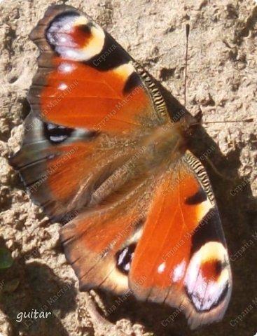 Красивая бабочка Павлиний глаз наконец-то посетила мой цветник, да не одна, а со своими подружками, кружили над цветами несколько дней. Причём садились либо на бархатки, либо на петунью. фото 6