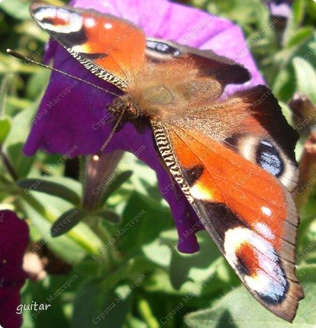Красивая бабочка Павлиний глаз наконец-то посетила мой цветник, да не одна, а со своими подружками, кружили над цветами несколько дней. Причём садились либо на бархатки, либо на петунью. фото 4