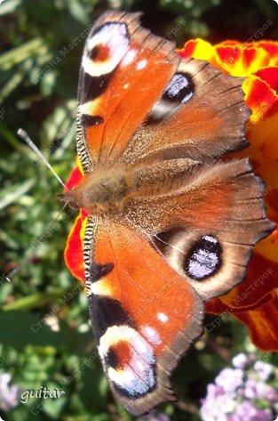 Красивая бабочка Павлиний глаз наконец-то посетила мой цветник, да не одна, а со своими подружками, кружили над цветами несколько дней. Причём садились либо на бархатки, либо на петунью. фото 3