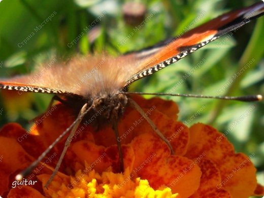 Красивая бабочка Павлиний глаз наконец-то посетила мой цветник, да не одна, а со своими подружками, кружили над цветами несколько дней. Причём садились либо на бархатки, либо на петунью. фото 5