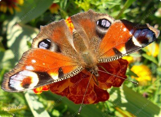 Красивая бабочка Павлиний глаз наконец-то посетила мой цветник, да не одна, а со своими подружками, кружили над цветами несколько дней. Причём садились либо на бархатки, либо на петунью. фото 2