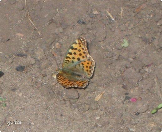 Красивая бабочка Павлиний глаз наконец-то посетила мой цветник, да не одна, а со своими подружками, кружили над цветами несколько дней. Причём садились либо на бархатки, либо на петунью. фото 14