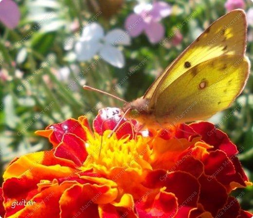Красивая бабочка Павлиний глаз наконец-то посетила мой цветник, да не одна, а со своими подружками, кружили над цветами несколько дней. Причём садились либо на бархатки, либо на петунью. фото 13