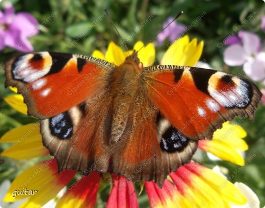 Красивая бабочка Павлиний глаз наконец-то посетила мой цветник, да не одна, а со своими подружками, кружили над цветами несколько дней. Причём садились либо на бархатки, либо на петунью. фото 1