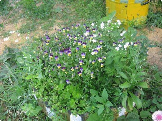 **Цветы  на моей  даче**** фото 9