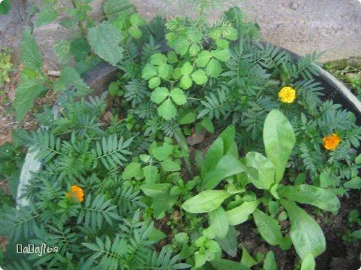 **Цветы  на моей  даче**** фото 10