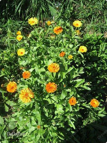 **Цветы  на моей  даче**** фото 3