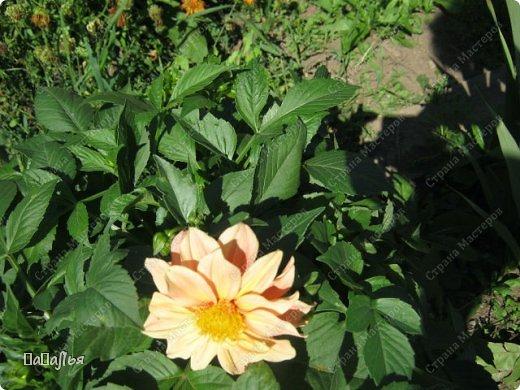 **Цветы  на моей  даче**** фото 4