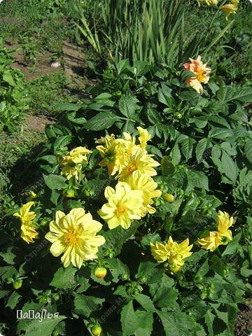 **Цветы  на моей  даче**** фото 5
