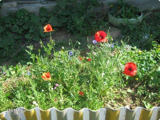 **Цветы  на моей  даче**** фото 8