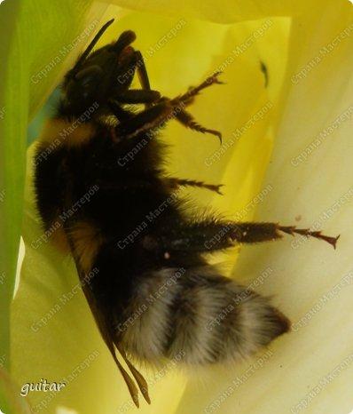 Шмели являются яркими представителями мира насекомых. Также как осы и пчёлы они относятся к отряду перепончатокрылых,  а  как опылители растений эти мохнатые насекомые ценятся даже больше, чем пчёлы. Почему? У них более длинный хоботок, чем у пчёлок, Например, пчела своим коротким хоботком не может достать пыльцу из клевера, а вот шмелю это легко удаётся. Шмели, таким образом, играют немаловажную роль для сельского хозяйства и поэтому многие шмели занесены в Красную книгу. фото 5