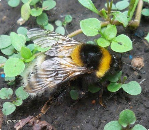 Шмели являются яркими представителями мира насекомых. Также как осы и пчёлы они относятся к отряду перепончатокрылых,  а  как опылители растений эти мохнатые насекомые ценятся даже больше, чем пчёлы. Почему? У них более длинный хоботок, чем у пчёлок, Например, пчела своим коротким хоботком не может достать пыльцу из клевера, а вот шмелю это легко удаётся. Шмели, таким образом, играют немаловажную роль для сельского хозяйства и поэтому многие шмели занесены в Красную книгу. фото 7