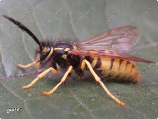 Шмели являются яркими представителями мира насекомых. Также как осы и пчёлы они относятся к отряду перепончатокрылых,  а  как опылители растений эти мохнатые насекомые ценятся даже больше, чем пчёлы. Почему? У них более длинный хоботок, чем у пчёлок, Например, пчела своим коротким хоботком не может достать пыльцу из клевера, а вот шмелю это легко удаётся. Шмели, таким образом, играют немаловажную роль для сельского хозяйства и поэтому многие шмели занесены в Красную книгу. фото 21
