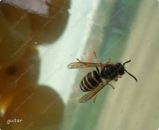 Шмели являются яркими представителями мира насекомых. Также как осы и пчёлы они относятся к отряду перепончатокрылых,  а  как опылители растений эти мохнатые насекомые ценятся даже больше, чем пчёлы. Почему? У них более длинный хоботок, чем у пчёлок, Например, пчела своим коротким хоботком не может достать пыльцу из клевера, а вот шмелю это легко удаётся. Шмели, таким образом, играют немаловажную роль для сельского хозяйства и поэтому многие шмели занесены в Красную книгу. фото 23