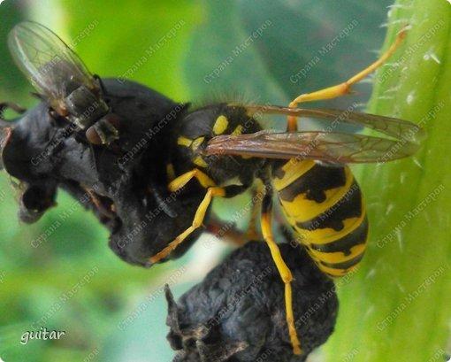 Шмели являются яркими представителями мира насекомых. Также как осы и пчёлы они относятся к отряду перепончатокрылых,  а  как опылители растений эти мохнатые насекомые ценятся даже больше, чем пчёлы. Почему? У них более длинный хоботок, чем у пчёлок, Например, пчела своим коротким хоботком не может достать пыльцу из клевера, а вот шмелю это легко удаётся. Шмели, таким образом, играют немаловажную роль для сельского хозяйства и поэтому многие шмели занесены в Красную книгу. фото 17