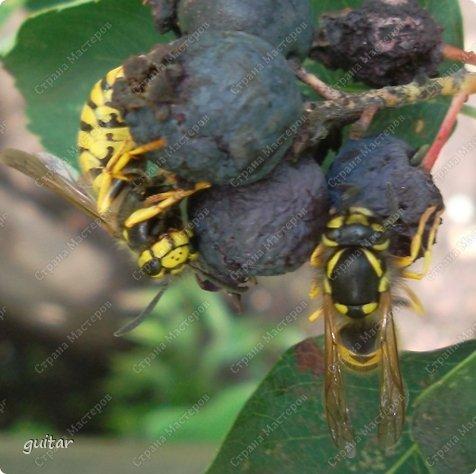 Шмели являются яркими представителями мира насекомых. Также как осы и пчёлы они относятся к отряду перепончатокрылых,  а  как опылители растений эти мохнатые насекомые ценятся даже больше, чем пчёлы. Почему? У них более длинный хоботок, чем у пчёлок, Например, пчела своим коротким хоботком не может достать пыльцу из клевера, а вот шмелю это легко удаётся. Шмели, таким образом, играют немаловажную роль для сельского хозяйства и поэтому многие шмели занесены в Красную книгу. фото 18