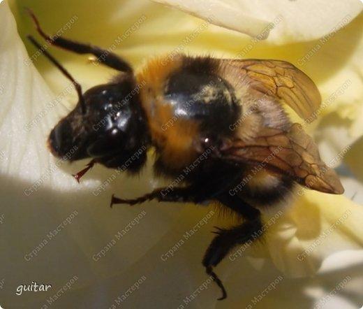 Шмели являются яркими представителями мира насекомых. Также как осы и пчёлы они относятся к отряду перепончатокрылых,  а  как опылители растений эти мохнатые насекомые ценятся даже больше, чем пчёлы. Почему? У них более длинный хоботок, чем у пчёлок, Например, пчела своим коротким хоботком не может достать пыльцу из клевера, а вот шмелю это легко удаётся. Шмели, таким образом, играют немаловажную роль для сельского хозяйства и поэтому многие шмели занесены в Красную книгу. фото 8