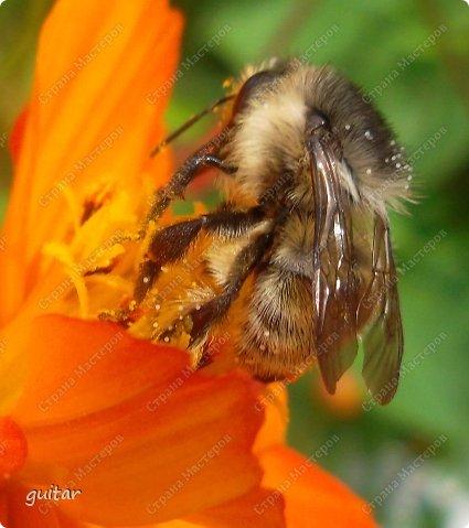 Шмели являются яркими представителями мира насекомых. Также как осы и пчёлы они относятся к отряду перепончатокрылых,  а  как опылители растений эти мохнатые насекомые ценятся даже больше, чем пчёлы. Почему? У них более длинный хоботок, чем у пчёлок, Например, пчела своим коротким хоботком не может достать пыльцу из клевера, а вот шмелю это легко удаётся. Шмели, таким образом, играют немаловажную роль для сельского хозяйства и поэтому многие шмели занесены в Красную книгу. фото 1