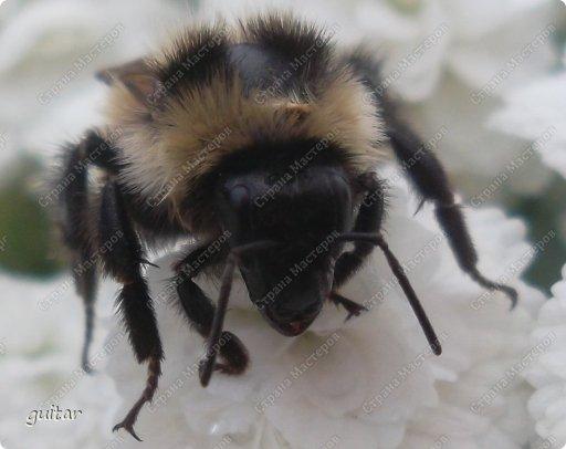 Шмели являются яркими представителями мира насекомых. Также как осы и пчёлы они относятся к отряду перепончатокрылых,  а  как опылители растений эти мохнатые насекомые ценятся даже больше, чем пчёлы. Почему? У них более длинный хоботок, чем у пчёлок, Например, пчела своим коротким хоботком не может достать пыльцу из клевера, а вот шмелю это легко удаётся. Шмели, таким образом, играют немаловажную роль для сельского хозяйства и поэтому многие шмели занесены в Красную книгу. фото 2