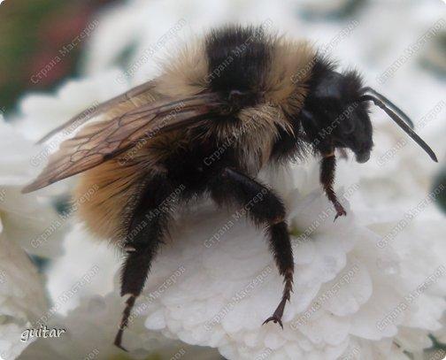 Шмели являются яркими представителями мира насекомых. Также как осы и пчёлы они относятся к отряду перепончатокрылых,  а  как опылители растений эти мохнатые насекомые ценятся даже больше, чем пчёлы. Почему? У них более длинный хоботок, чем у пчёлок, Например, пчела своим коротким хоботком не может достать пыльцу из клевера, а вот шмелю это легко удаётся. Шмели, таким образом, играют немаловажную роль для сельского хозяйства и поэтому многие шмели занесены в Красную книгу. фото 3