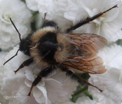 Шмели являются яркими представителями мира насекомых. Также как осы и пчёлы они относятся к отряду перепончатокрылых,  а  как опылители растений эти мохнатые насекомые ценятся даже больше, чем пчёлы. Почему? У них более длинный хоботок, чем у пчёлок, Например, пчела своим коротким хоботком не может достать пыльцу из клевера, а вот шмелю это легко удаётся. Шмели, таким образом, играют немаловажную роль для сельского хозяйства и поэтому многие шмели занесены в Красную книгу. фото 4