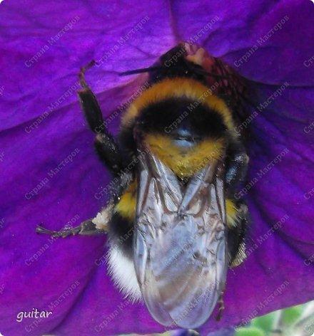 Шмели являются яркими представителями мира насекомых. Также как осы и пчёлы они относятся к отряду перепончатокрылых,  а  как опылители растений эти мохнатые насекомые ценятся даже больше, чем пчёлы. Почему? У них более длинный хоботок, чем у пчёлок, Например, пчела своим коротким хоботком не может достать пыльцу из клевера, а вот шмелю это легко удаётся. Шмели, таким образом, играют немаловажную роль для сельского хозяйства и поэтому многие шмели занесены в Красную книгу. фото 9