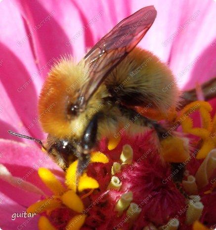 Шмели являются яркими представителями мира насекомых. Также как осы и пчёлы они относятся к отряду перепончатокрылых,  а  как опылители растений эти мохнатые насекомые ценятся даже больше, чем пчёлы. Почему? У них более длинный хоботок, чем у пчёлок, Например, пчела своим коротким хоботком не может достать пыльцу из клевера, а вот шмелю это легко удаётся. Шмели, таким образом, играют немаловажную роль для сельского хозяйства и поэтому многие шмели занесены в Красную книгу. фото 10