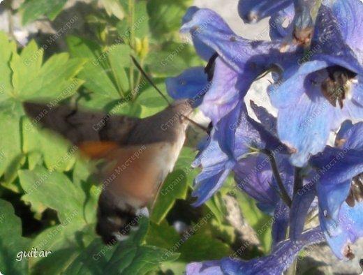 Шмели являются яркими представителями мира насекомых. Также как осы и пчёлы они относятся к отряду перепончатокрылых,  а  как опылители растений эти мохнатые насекомые ценятся даже больше, чем пчёлы. Почему? У них более длинный хоботок, чем у пчёлок, Например, пчела своим коротким хоботком не может достать пыльцу из клевера, а вот шмелю это легко удаётся. Шмели, таким образом, играют немаловажную роль для сельского хозяйства и поэтому многие шмели занесены в Красную книгу. фото 11