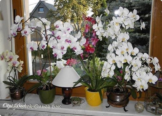Самые любимые комнатные растения в Германии - это орхидеи Phalaenopsis.   Они есть  практически на каждом подоконнике. Это самые благодарные растения, которые радуют своим долгим цветением, если правильно за ними ухаживать.  Уход за ними несложен, но есть основные правила, которых надо придерживаться. Но об этом немного позже.