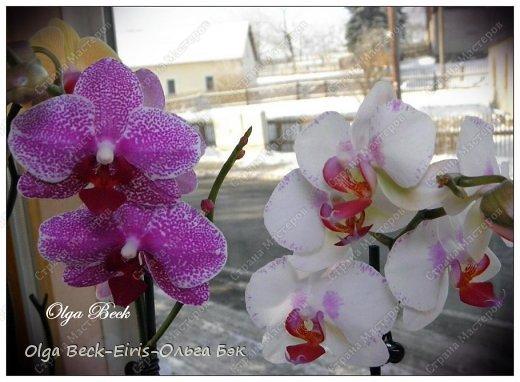 Самый популярный вопрос среди новичков, да и не только для новичков - это  сколько раз  надо поливать орхидею. Иногда делают различие - зимой и летом.  Всем хочется узнать точный ответ. А точного ответа нет и не может быть, с моей точки зрения. Ведь полив орхидеи зависит от большого количества условий, в которых  она находится . Если для одной орхидеи полив зимой может быть и 2 раза в неделю, так как  сильно работает отопление.  То для другого цветка это  же количество может быть просто губительно, так как он  стоит в совершенно других условиях.  Поэтому важно знать не сколько раз поливать орхидею, а когда нужно ее поливать.  Это действительно самое важное.