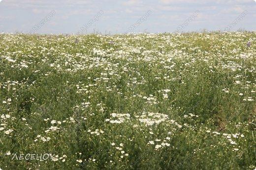 Добрый день всем!!!! Хочу с Вами поделиться прекрасными мгновениями счастья. Прогулками по полям и земляничным полянам.  Полевые цветы... Полевые... Васильки и ромашки в лугах... Ярко-синие и голубые – На бескрайних Российских полях.  Сколько нежности, яркости, света Вы храните в себе летним днем... Теплым солнцем весной вы согреты, И умыты осенним дождем...  Разукрашены радуги краской, Снежной шубой, укрыты зимой. Мать – Земля напоила вас лаской, Наградила небесной красой.  Полевые цветы... Полевые... Не сравнить вас с садовым цветком. Вы согрели мне душу, родные! Поселились вы в сердце моем! фото 6