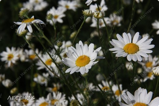 Добрый день всем!!!! Хочу с Вами поделиться прекрасными мгновениями счастья. Прогулками по полям и земляничным полянам.  Полевые цветы... Полевые... Васильки и ромашки в лугах... Ярко-синие и голубые – На бескрайних Российских полях.  Сколько нежности, яркости, света Вы храните в себе летним днем... Теплым солнцем весной вы согреты, И умыты осенним дождем...  Разукрашены радуги краской, Снежной шубой, укрыты зимой. Мать – Земля напоила вас лаской, Наградила небесной красой.  Полевые цветы... Полевые... Не сравнить вас с садовым цветком. Вы согрели мне душу, родные! Поселились вы в сердце моем! фото 7