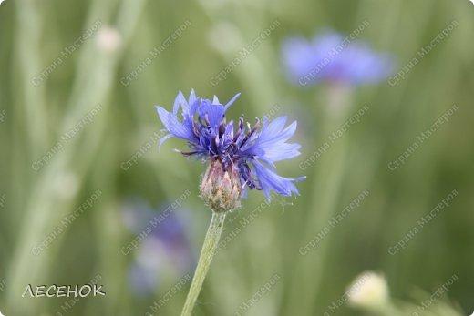 Добрый день всем!!!! Хочу с Вами поделиться прекрасными мгновениями счастья. Прогулками по полям и земляничным полянам.  Полевые цветы... Полевые... Васильки и ромашки в лугах... Ярко-синие и голубые – На бескрайних Российских полях.  Сколько нежности, яркости, света Вы храните в себе летним днем... Теплым солнцем весной вы согреты, И умыты осенним дождем...  Разукрашены радуги краской, Снежной шубой, укрыты зимой. Мать – Земля напоила вас лаской, Наградила небесной красой.  Полевые цветы... Полевые... Не сравнить вас с садовым цветком. Вы согрели мне душу, родные! Поселились вы в сердце моем! фото 9