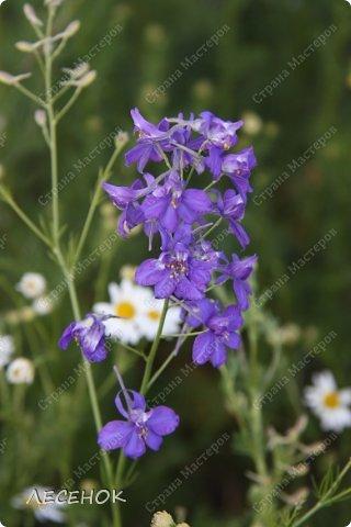 Добрый день всем!!!! Хочу с Вами поделиться прекрасными мгновениями счастья. Прогулками по полям и земляничным полянам.  Полевые цветы... Полевые... Васильки и ромашки в лугах... Ярко-синие и голубые – На бескрайних Российских полях.  Сколько нежности, яркости, света Вы храните в себе летним днем... Теплым солнцем весной вы согреты, И умыты осенним дождем...  Разукрашены радуги краской, Снежной шубой, укрыты зимой. Мать – Земля напоила вас лаской, Наградила небесной красой.  Полевые цветы... Полевые... Не сравнить вас с садовым цветком. Вы согрели мне душу, родные! Поселились вы в сердце моем! фото 11
