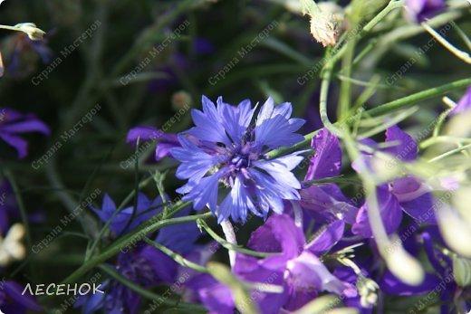 Добрый день всем!!!! Хочу с Вами поделиться прекрасными мгновениями счастья. Прогулками по полям и земляничным полянам.  Полевые цветы... Полевые... Васильки и ромашки в лугах... Ярко-синие и голубые – На бескрайних Российских полях.  Сколько нежности, яркости, света Вы храните в себе летним днем... Теплым солнцем весной вы согреты, И умыты осенним дождем...  Разукрашены радуги краской, Снежной шубой, укрыты зимой. Мать – Земля напоила вас лаской, Наградила небесной красой.  Полевые цветы... Полевые... Не сравнить вас с садовым цветком. Вы согрели мне душу, родные! Поселились вы в сердце моем! фото 8