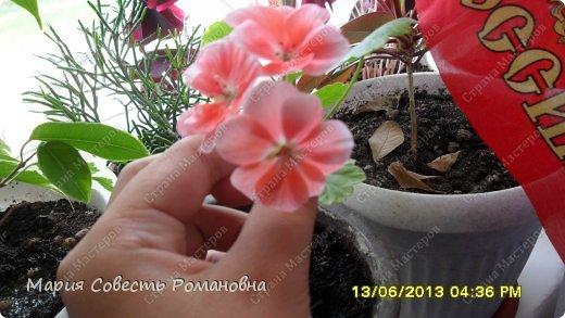 Здравствуйте, жители Страны Мастеров))) Решила похвастаться своими цветочками)))) Герань розовая фото 1