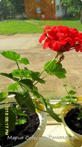 Здравствуйте, жители Страны Мастеров))) Решила похвастаться своими цветочками)))) Герань розовая фото 15