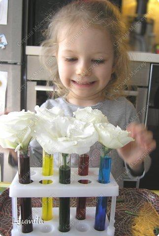 После 8 марта осталось много цветов в разной степени увядания. Разбирали букеты и на остатках цветов ставили с Лидочкой опыты. Я вспомнила, что живые цветы можно красить и мы посвятили последние 2 недели этому. На этом фото подкрашенные розы.  фото 12