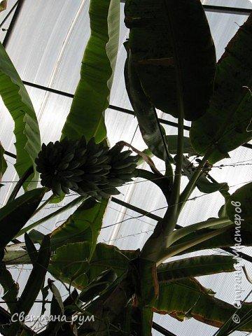 Так растут бананы. фото 1